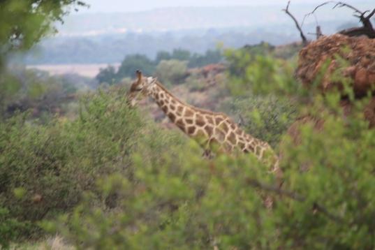 Giraffe coming by for breakfast