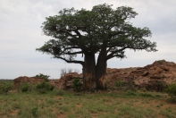 Baobab tree outside the cabin