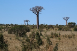 The first baobabs