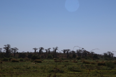 Baobabs at the ferry crossing