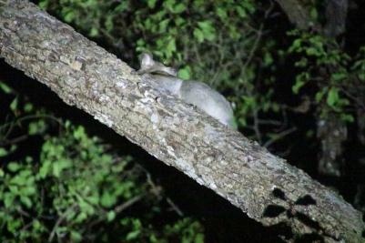 Lemur hidding