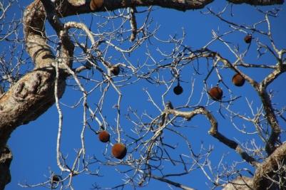 Fruit on baobab tree