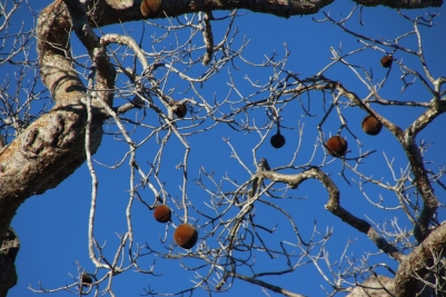 Fruit on baobab tree