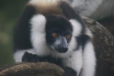 Lemur at Palmarium
