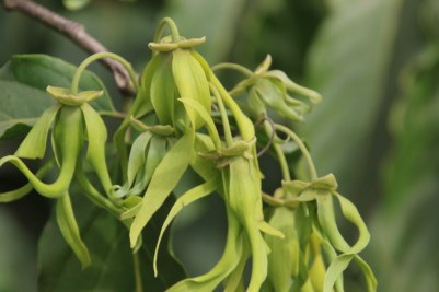 Flowers of the ylang-ylang