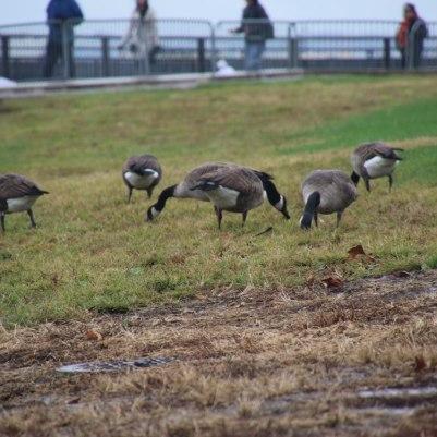 Geese at Liberty Island