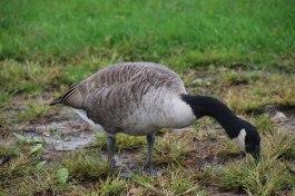 Goose at Liberty Island