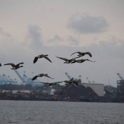 Geese flying by Liberty Island